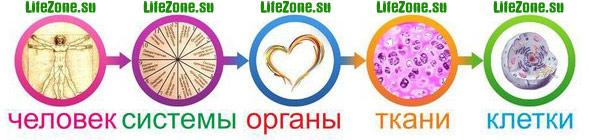 Организм человека состоит из 12 физиологических систем, системы состоят из органов, органы из тканей, а ткани состоят из клеток