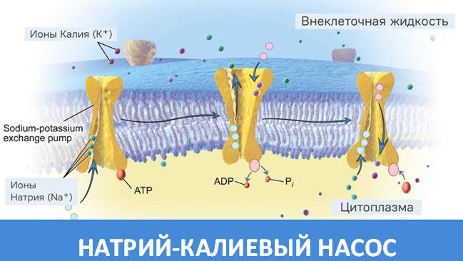 Натрий-Калиевые насос
