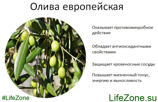 Олива европейская. Полезные свойства